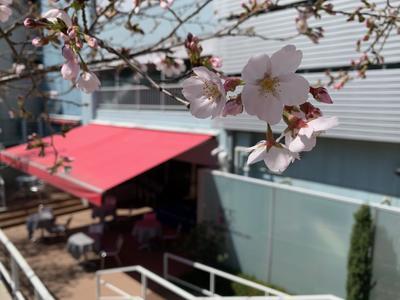 桜2020①.jpg