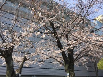 桜0328 (2).JPG